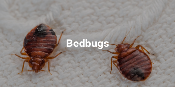Pest control Abu Dhabi for bedbugs