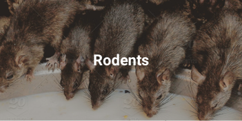 Pest control Abu Dhabi for rats and mice and all rodents